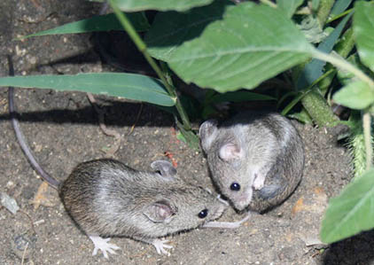 Mound building mice